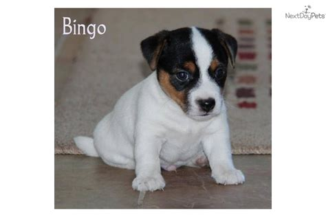 shorty puppies for sale meet bingo a terrier puppy for sale for 800 colorado shorty jacks