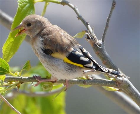 young goldfinch by the river nature