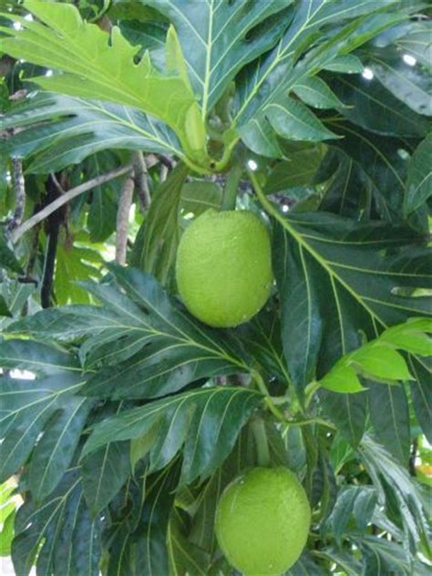 florida fruit trees for sale nut in my backyard southwest florida gardens can grow
