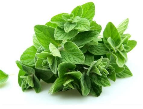 Harga Bibit Oregano bibit oregano