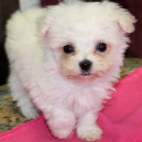 tea cup puppies for sale teacup poodle puppies for sale breeds picture