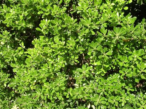 siepi per giardini siepi a crescita rapida siepi siepi veloci
