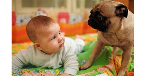 average lifespan of pugs pugs and their health issues pets world