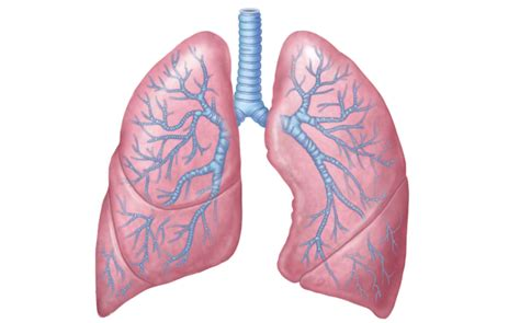 the human lungs diagram chvrches lungs lyrics genius lyrics