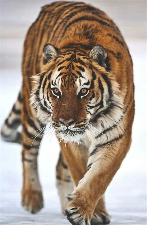 walking with tigers books walking tiger pictures photos and images for