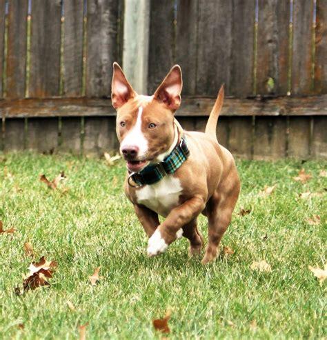 pitbull weiner bull terrier dachshund mix www imgkid the image kid has it