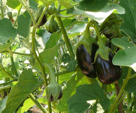 Gardening Eggplant Eggplant And Grow Bags A Great Combination Organic