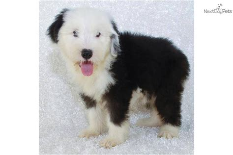 sheepdog puppies ohio olde sheepdog puppy for sale near akron canton ohio e1f65508 5d31