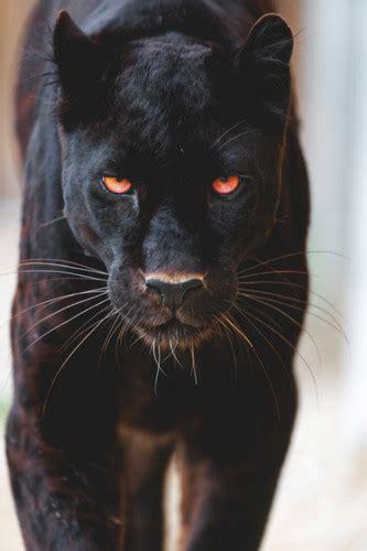 wallpaper harimau hitam gambar wallpaper hewan harimau kucing besar cambang macan