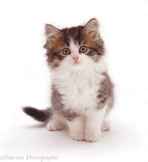 Tabby and white kitten photo WP07658