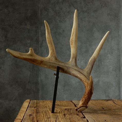 Shed Horns For Sale by Whitetail Deer Antler Shed For Sale 16028 The Taxidermy