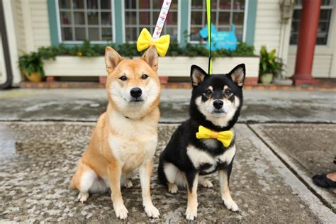 dogs with yellow i just discovered the yellow ribbon movement for dogs bored panda