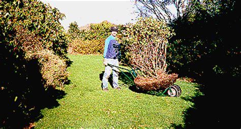 moving a large rhododendron