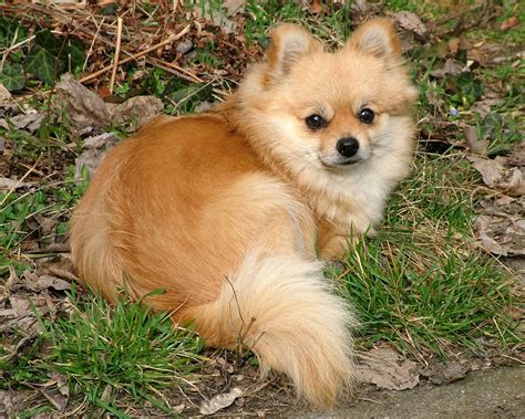 raising a pomeranian pomeranian breed standards coco the blogging