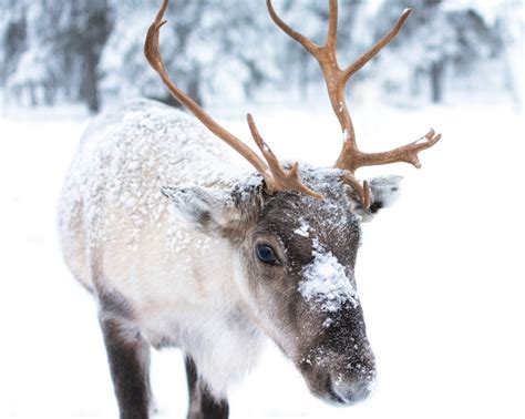 where you can see real reindeer in essex this christmas