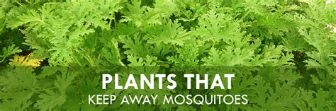 plants that keep away mosquitoes