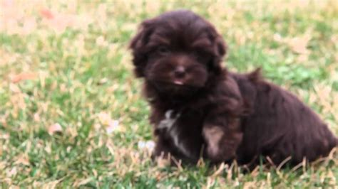 chocolate havanese chocolate havanese www pixshark images galleries with a bite