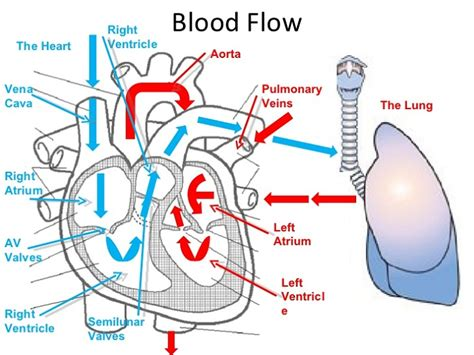 diagram with labels and blood flow blood flow diagram diagram site