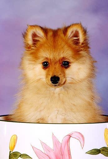 teapot pomeranian puppies cup animal stock photos kimballstock