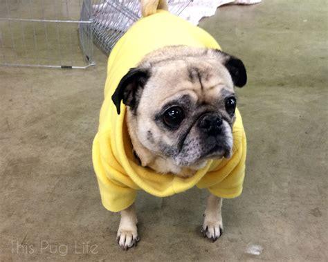 pug panda costume pug visits his grumble this pug