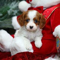 teacup cavapoo puppies for sale cutie pie pets on miniature schnauzer miniature schnauzer puppies and