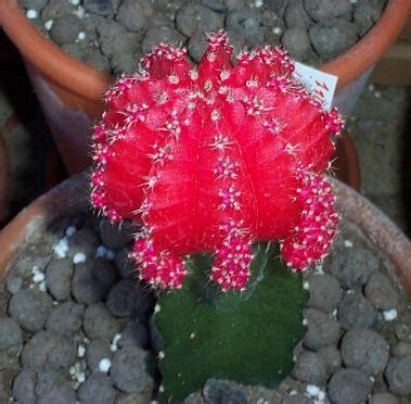 pianta grassa con fiore rosso le piante grasse colori e tonalit 224 giardinaggio piante