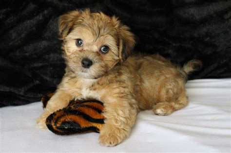 malshipoo puppies for sale tlc puppy