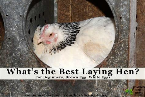 laying hens  beginners white eggs brown eggs