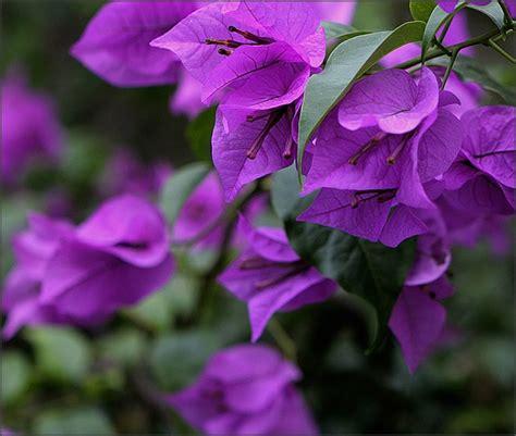 bunga bunga berkhasiat obat oleh ridwan sidik kompasianacom