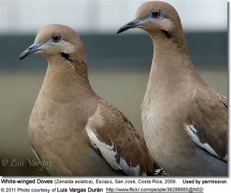 white winged doves beauty of birds
