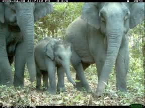 asian elephant species wwf