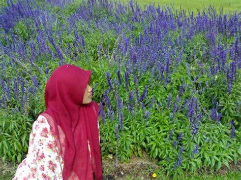 Bunga Lavender 81 gaya di lavender foto di taman bunga nusantara cianjur