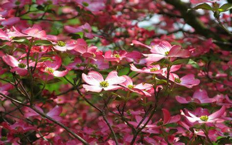 hd pink dogwood flower wallpaper