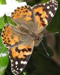 Balon Karakter Terbang Kupu Kupu kupu kupu ke mana engkau terbang fahriezal s