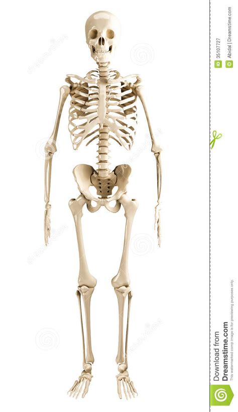 human skeleton royalty  stock photography image