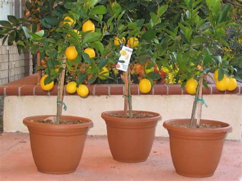 piante di limoni in vaso prezzi limoni in vaso domande e risposte orto e frutta
