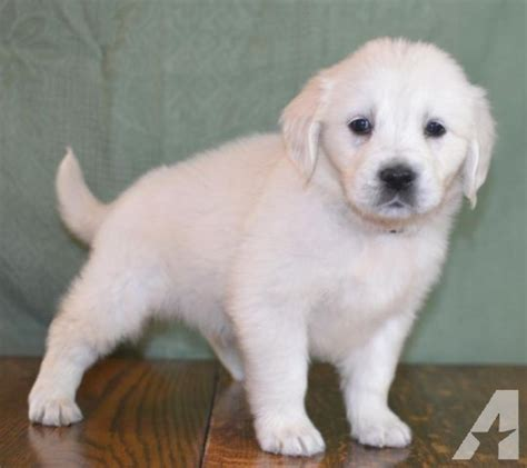 golden retriever puppies for sale spokane faqs golden retriever puppies white 2015 personal