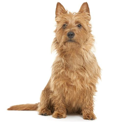 all small breeds australian terrier small breeds
