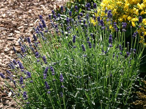 wann blüht der lavendel in frankreich lavendel standort cheap olivenbume verfgen ber ein und