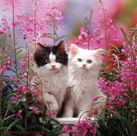 Cat Black Pink white and black and white kittens among pink flowers photo