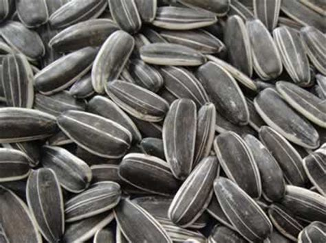 is black sunflower seeds for birds black sunflower seed archives bridgerland audubon society
