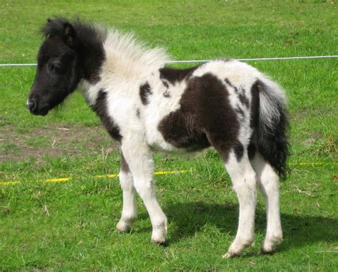 mini pony baby miniature pony related keywords baby miniature pony