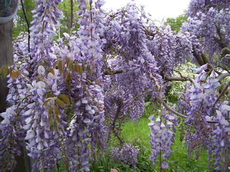 chinese wisteria wisteria sinensis plantfiles pictures chinese wisteria wisteria sinensis