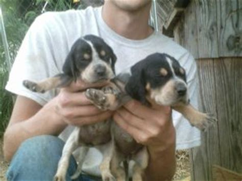 blue tick hound puppies for sale black and coonhound puppies for sale