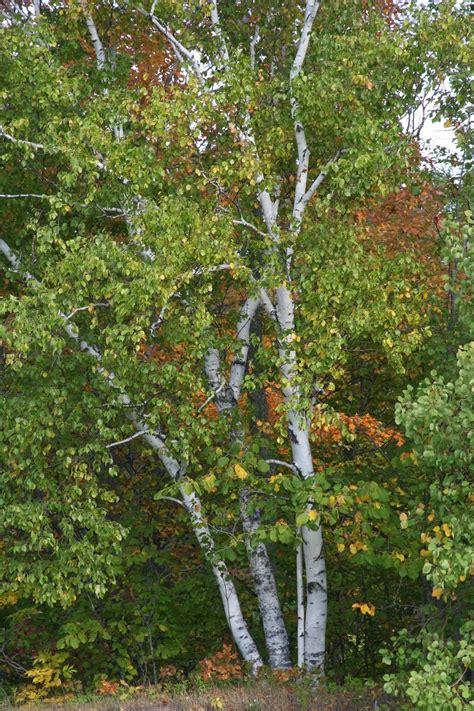 isabella conservation district environmental education program native species profile paper birch