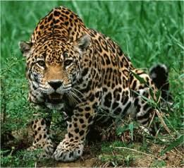 What Do Jaguars Hunt Best Animal News 07 Abr 2011