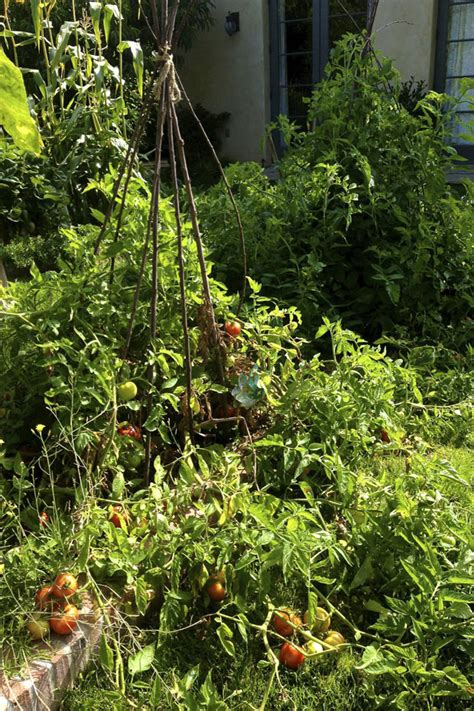 my wont eat or drink and just lays there freezing tomatoes eat drink garden santa barbara california