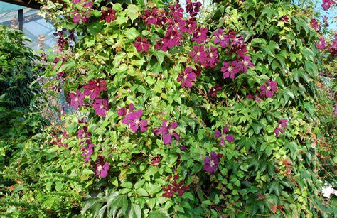 Schnell Wachsende Rankpflanzen by Schnellwachsende Und Immergr 252 Ne Kletterpflanzen