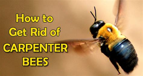 how to get rid of bees in backyard 9 ways to get rid of carpenter bees forever