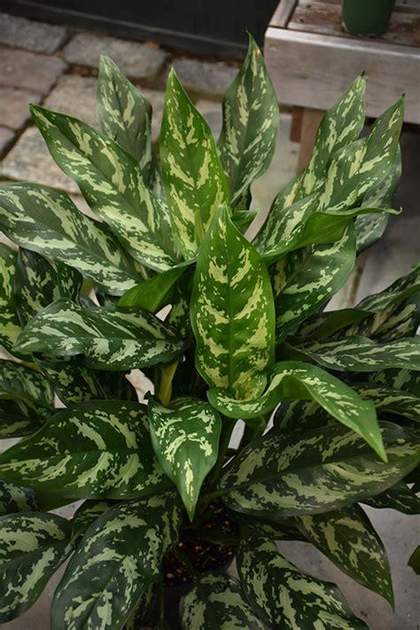 gemini chinese evergreen aglaonema gemini  milwaukee
